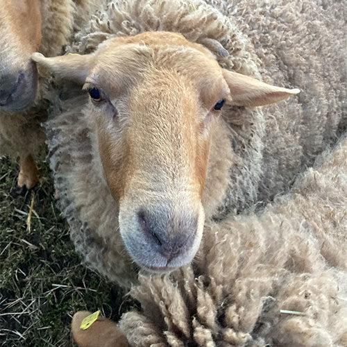 Schaf-Wilma-Wollfra