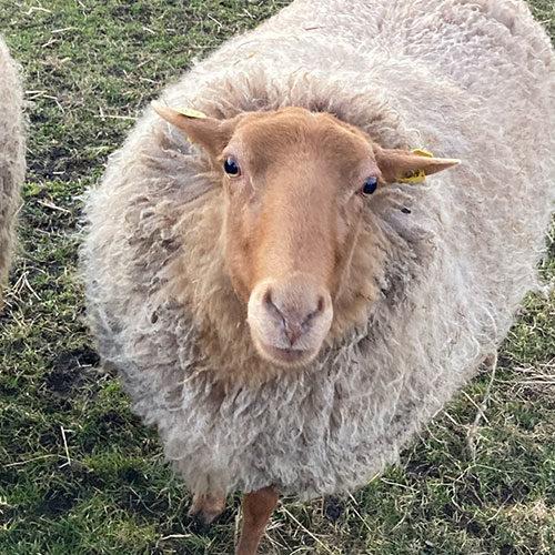 Schaf-Gertrud-Wollfra