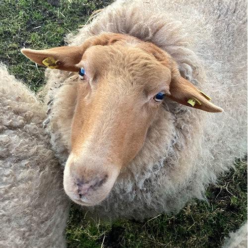 Schaf-Sina-Wollfra